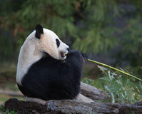 Female panda eating Royalty Free Stock Photo
