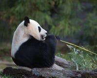 Female panda eating Royalty Free Stock Photo