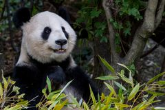 A female panda sits eating bamboo royalty free stock photography