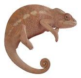 Female Panther Chameleon Royalty Free Stock Image