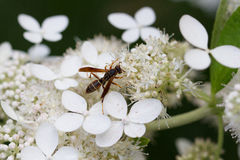 Female Paper Wasp Feeding on Oakleaf Hydrangea. Female Northern Paper Wasp, Polistis fuscatus, feeds on florets of the 'Snowflake' Oakleaf Hydrangea Royalty Free Stock Photography