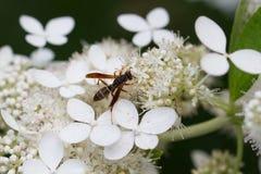 Female Paper Wasp Feeding on Oakleaf Hydrangea Royalty Free Stock Photography