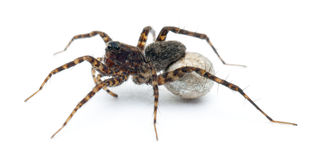 Female Pardosa lugubris carrying her egg-sac Stock Images