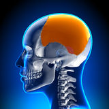 Female Parietal bone - Skull / Cranium Anatomy Royalty Free Stock Photos