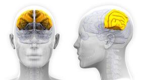 Female Parietal Lobe Brain Anatomy - isolated on white Stock Photography