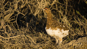 The female of a partridge. Looks out of bushes in which hid Royalty Free Stock Photos