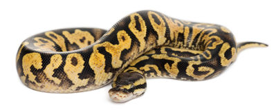 Female Pastel calico Python, Royal python Royalty Free Stock Image