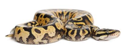 Female Pastel calico Python, Royal python Stock Images