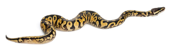 Female Pastel calico Python, Royal python royalty free stock photos