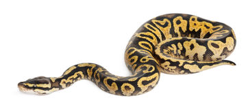 Female Pastel calico Royal Python royalty free stock images