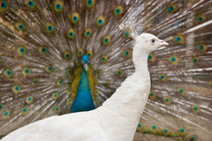 Female peacock. A female peacok in the background of beautiful feather of male peacock Stock Photos