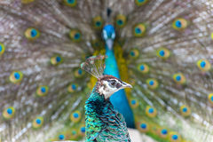 Female peacock Royalty Free Stock Images