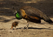 Female peacock with chicks back Royalty Free Stock Photos