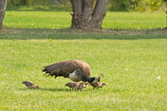 Female Peacock With Chicks On Lawn Royalty Free Stock Image