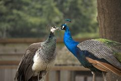 A kiss of peacocks Royalty Free Stock Images