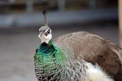 Female Peacock Pavo Cristatus Head  Closeup. Portrait stock photography