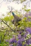 Female peacock Stock Photography
