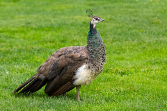 Female Peacock Stock Image