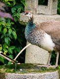 Female peacock Stock Photos