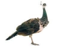 Female peacock in studio Royalty Free Stock Photo