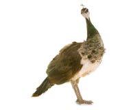 Female peacock in studio stock image
