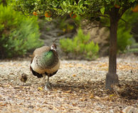 Female peacock takes chick for a walk Royalty Free Stock Photos