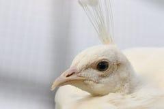Female peafowl portrait Royalty Free Stock Photo