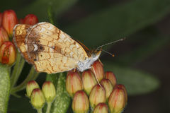 Female Pearly Crescentspot Butterfly on Butterfly Milkweed Stock Photography
