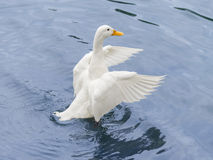 Female Peking duck flying Stock Photography