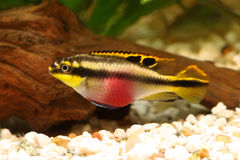 Female Pelvicachromis Pulcher Kribensis Cichlid Aquarium Fish Stock Photo