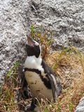 Female penguin on nest at Boulders Beach. Royalty Free Stock Image