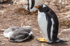 The female penguin with two chicks Stock Images