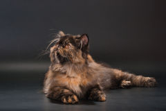 Female persian cat breed Stock Photography