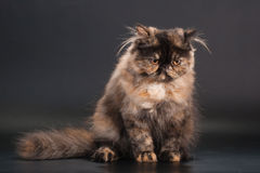 Female persian cat breed Royalty Free Stock Photo