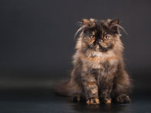 Female persian cat breed Royalty Free Stock Photos
