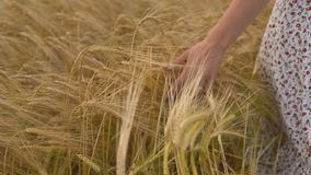 Female person hand against wheat ears, freedom. Female person hand against wheat ears. Beautiful girl on yellow meadow. Enjoy freedom stock footage