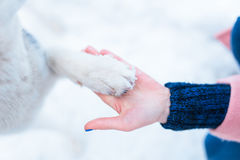 Female person hand holds husky dog paw closeup Royalty Free Stock Photography