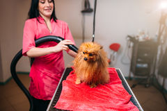 Female pet groomer dry dog fur with a hair dryer Royalty Free Stock Images