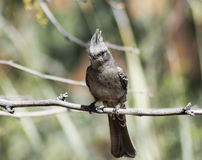 A Female Phainopepla Eating a Flying Insect Stock Photos