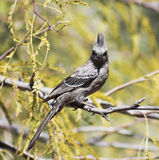 A Female Phainopepla Eating a Flying Insect Royalty Free Stock Photo