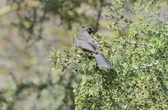 Female Phainopepla Perched on Shrub with Berries Stock Photo