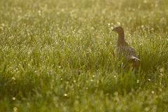Female pheasant. At dawn in grass Royalty Free Stock Images