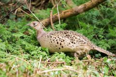 Female pheasant. A female pheasant standing in woodland grass and branches Stock Photos