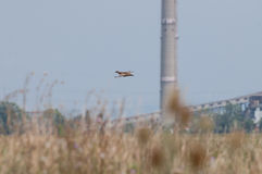 Female pheasant flying and a tower Royalty Free Stock Photos