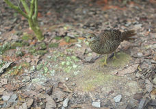 Female Pheasant. Female golden pheasant bird on dirt ground with dried leaves Stock Images