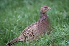 A female pheasant in the grass. A close up side view of a female pheasant in the grass looking to the right Stock Image