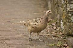 Female Pheasant Stock Images
