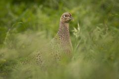Female Pheasant Royalty Free Stock Image