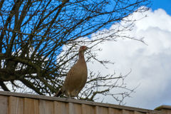Female Pheasant perched on wooden fence Stock Photos