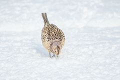 A female Pheasant Phasianus colchicus, looking for food on snow covered ground. Close up image of a female pheasant searching for food on snow covered ground Stock Photography